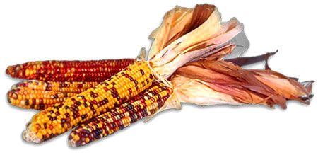 harvest corn with bright colors
